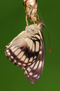 Butterfly athyma ranga it just came out of pupa white spots Stock Images