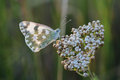 Butterfly - Bath White (Pontia daplidice) on meadow Royalty Free Stock Photo