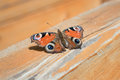 Butterfly with beautiful unfold wings Royalty Free Stock Photo