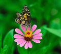 Butterfly beautiful on zinnia flower Royalty Free Stock Image