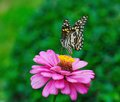 Butterfly beautiful on zinnia flower Stock Image