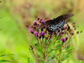 Butterfly Black Swallowtail and flowers Royalty Free Stock Photo