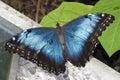 Butterfly Blue Morpho Resting ...