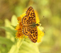 Butterfly ( Boloria dia) Stock Photography