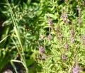 Butterfly brazil pollinates flowers. Brazhnik in flight. Royalty Free Stock Photo