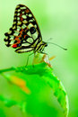 Butterfly on a bright green leaf Royalty Free Stock Photography
