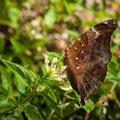 Butterfly brown fly in morning nature Royalty Free Stock Images