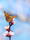 Butterfly on a budding branch close up shoot with blue background Stock Images