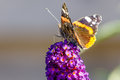 Butterfly on a butterfly bush sitting in the sun Royalty Free Stock Photo
