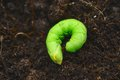 Butterfly caterpillar young on soil Royalty Free Stock Image