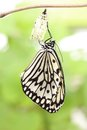 Butterfly change form chrysalis Royalty Free Stock Photo