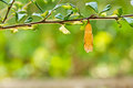 Butterfly chrysalis Royalty Free Stock Photo