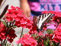 Butterfly close up picture of feeding on flowers Royalty Free Stock Photography