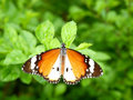 Butterfly Closeup Royalty Free Stock Photo