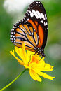 Butterfly closeup on flower common tiger Stock Photography