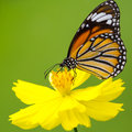 Butterfly closeup on flower common tiger Stock Images