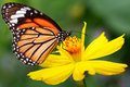 Butterfly closeup on flower common tiger Stock Photo