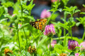 Butterfly on a clover flower backlit sunny summer day Royalty Free Stock Photos