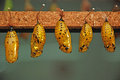 Butterfly cocoons yellow in the park in benalmadena andalucia spain Stock Images