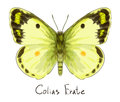 Butterfly Colias Erate. Stock Photo