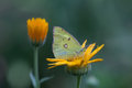 Butterfly Colias hyale pale clouded yellow sitting on orange flower. Green background. macro view, soft focus. shallow Royalty Free Stock Photo