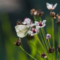 The butterfly collects nectar Stock Photography