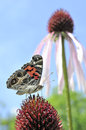 Butterfly on a coneflower painted lady purple Royalty Free Stock Photos