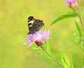 Butterfly on cornflower aglais urticae Royalty Free Stock Images