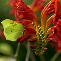 Butterfly on crocosmia brimstone lucifer flower Stock Photography
