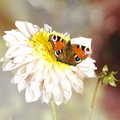 Peacock butterfly, dahlia flower Royalty Free Stock Photo