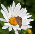 Butterfly on a Daisy Royalty Free Stock Photo