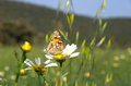 Butterfly on daisy flower Royalty Free Stock Photo