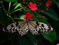 Butterfly on dark red flowers Royalty Free Stock Photo