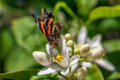 Butterfly drinks nectar from an orange tree flower Royalty Free Stock Photo
