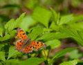 Butterfly eastern comma polygonia comma sitting on a leaf Royalty Free Stock Photos