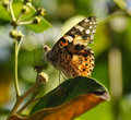 Butterfly Eating Nectar Royalty Free Stock Photo