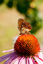 Butterfly on Echinacea flower Royalty Free Stock Photo