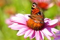 Butterfly on echinacea peacock flexing the flower inachis io Stock Images
