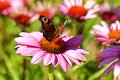 Butterfly on echinacea peacock flexing the flower inachis io Royalty Free Stock Image