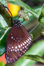 Butterfly emerged from cocoon common lndian crow in the nature milkweed mania Royalty Free Stock Photography