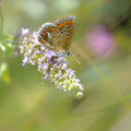Butterfly en brown argus lat polyommatus agestis sitting on a flower Royalty Free Stock Image
