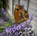 Butterfly in English Garden Royalty Free Stock Photo