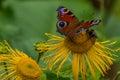 Butterfly European Peacock (Aglais io) on a flower Elecampane Royalty Free Stock Photo