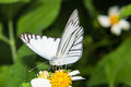 Butterfly feeding on little flower macro Royalty Free Stock Photography
