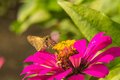 Butterfly feeding on pink straw flower photo form thai Stock Photo