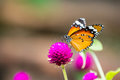 The Butterfly feeding on purple flower Royalty Free Stock Photo