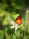 Butterfly feeding on a summer flower against green background Royalty Free Stock Photo