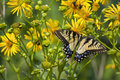 Butterfly Feeding on Yellow Flowers Royalty Free Stock Photo