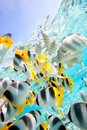 Butterfly fish Royalty Free Stock Photo