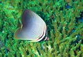 Butterfly fish Stock Images